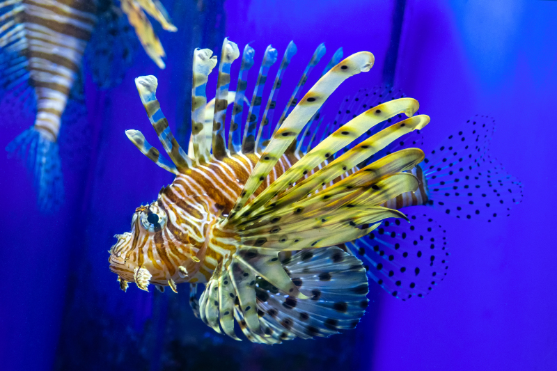 Lionfish with Sunburst on a blue background